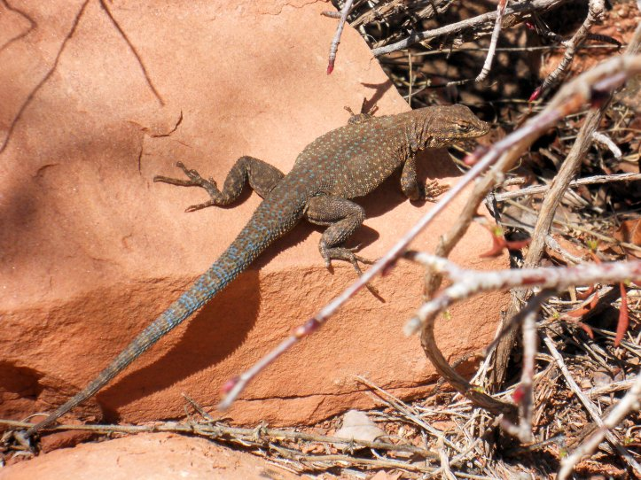 Grand Canyon Lizard2