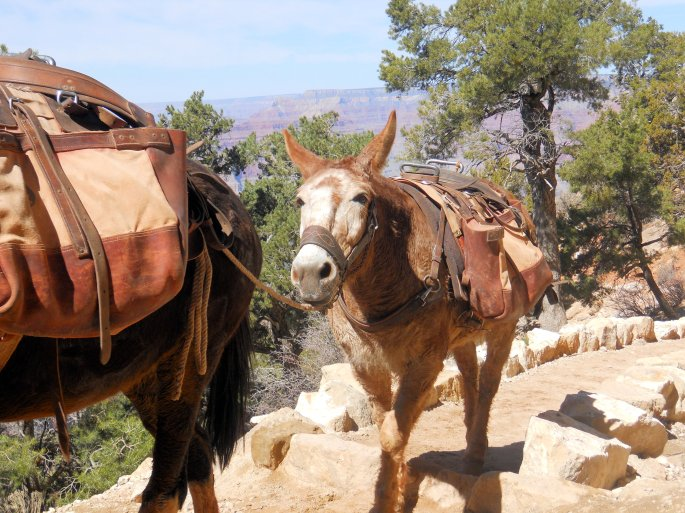 Grand Canyon Mule Trail