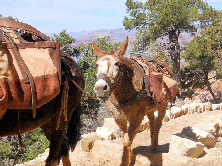 Grand Canyon Mule Trail